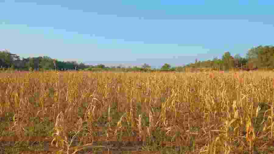 Plantação de milho - Shutterstock