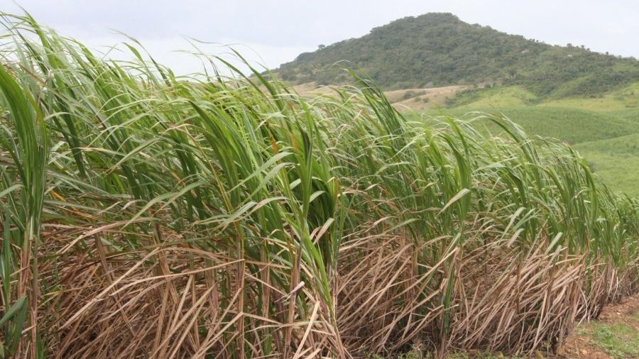 Plantação de Cana de Açúcar                              -                                 PRISCILLA BUHR/ACERVO JC IMAGEM