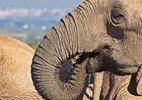 Ação humana fez elefantes pararem de desenvolver presas, revela estudo - Reprodução