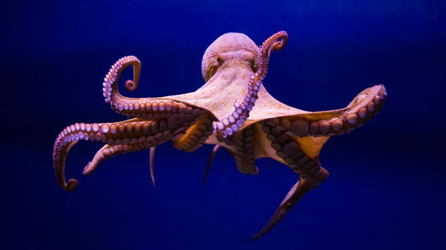 O polvo evoluiu com sistemas nervosos muito maiores e maior complexidade cognitiva, e talvez seja o mais próximo de uma espécie alienígena inteligente, que usa e implementa um sistema distribuído descentralizado. - GettyImages