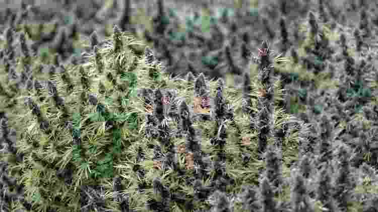Campo florido com cânhamo industrial - John Greim/LightRocket/Getty Images - John Greim/LightRocket/Getty Images