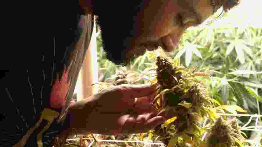 Jonathan Jaime cheira flor de cannabis em clube oficial criado em apartamento no centro de Montevidéu (Uruguai) - Fabiana Maranhão/UOL