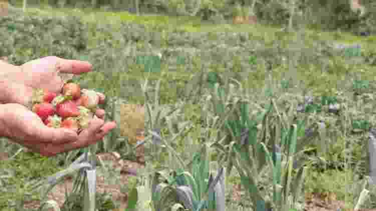 Morangos orgânicos colhidos na propriedade de Osmany Segal, em Brazlândia (GO) - Tainá Andrade/UOL - Tainá Andrade/UOL
