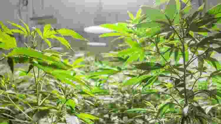 Cultivo da Cannabis ainda é proibido no país, Abrace é a única associação que pode plantar e comercializar produtos a base de maconha - Ítalo Rômany/Eder Content