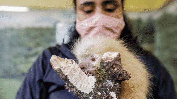 Porco-espinho bebê resgatado no Parque Estadual Juquery - Ricardo Matsukawa/UOL - Ricardo Matsukawa/UOL