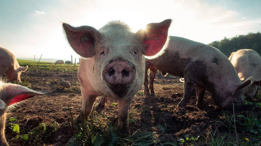 Porcos de criação na Suíça - Pascal Debrunne/Unsplash