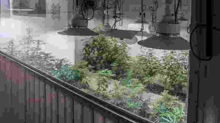 Estufa localizada na Abrace para manter a temperatura ambiente do plantio da cannabis - Ítalo Rômany/Eder Content - Ítalo Rômany/Eder Content
