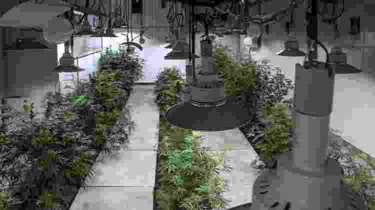 Cannabis - Ítalo Rômany/Eder Content - Ítalo Rômany/Eder Content