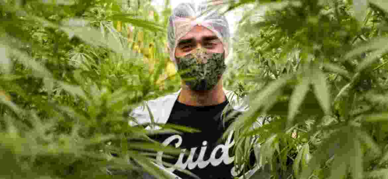 O cultivo da cannabis e a produção de medicamentos da Abrace, em João Pessoa (PB), não pararam durante a pandemia  - Cesar Matos/Divulgação