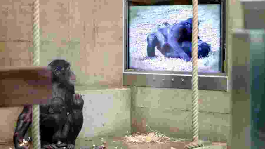Chimpanzé-pigmeu assiste a filme em sua jaula no zoo de Stuttgart, na Alemanha, em 2013 - AFP PHOTO / DPA / BERND WEISSBROD