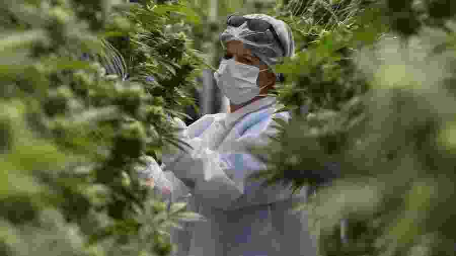 Jardineira cuida de plantação de maconha em Nueva Helvecia, a 120 km de Montevideu, Uruguai - Pablo Brune/AFP