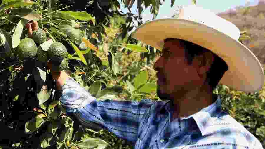 Agricultor do estado de Puebla, no México, mostra sua produção de avocados, fruta que virou moda nos EUA - José Castanares/AFP