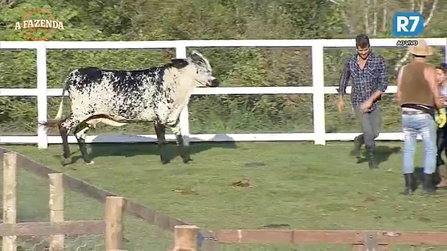 """Peões saem correndo após vaca tentar dar uma cabeçada em Marcos Harter em """"A Fazenda 9"""" - Reprodução/R7"""
