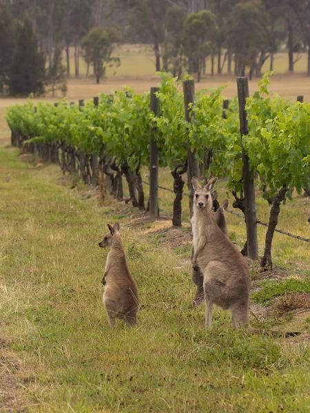 Cangurus em vinhedos na região de Hunter Valley, na Austrália - Getty Images