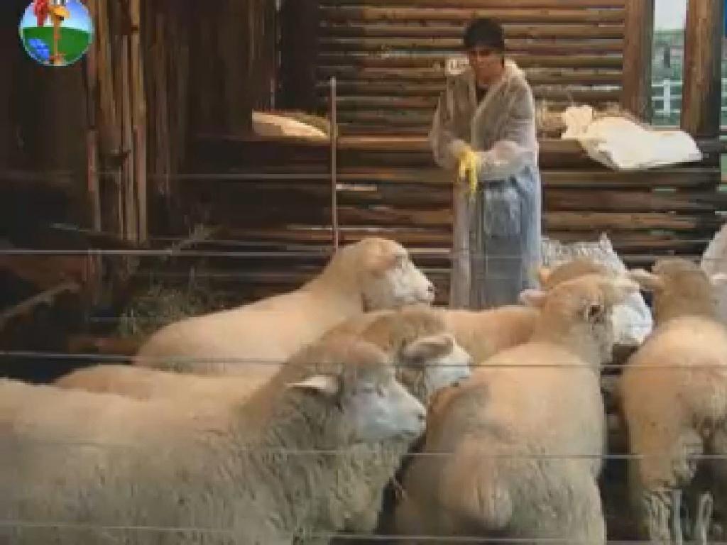 Gretchen cuida das ovelhas (30/6/12)