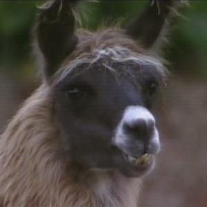 A lhama Consuelo é um dos animais preferidos dos peões da quinta temporada (9/7/12)