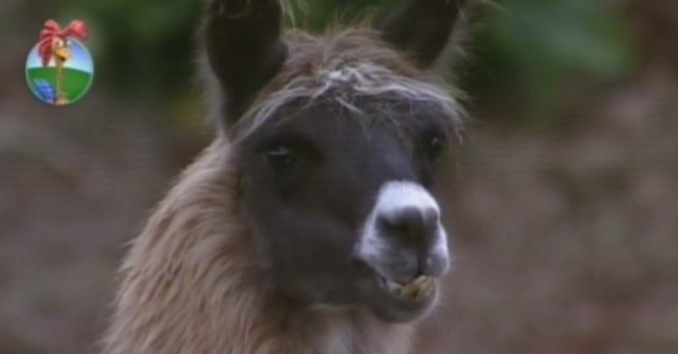 A lhama Consuelo é um dos animais preferidos dos peões na casa (9/7/12)