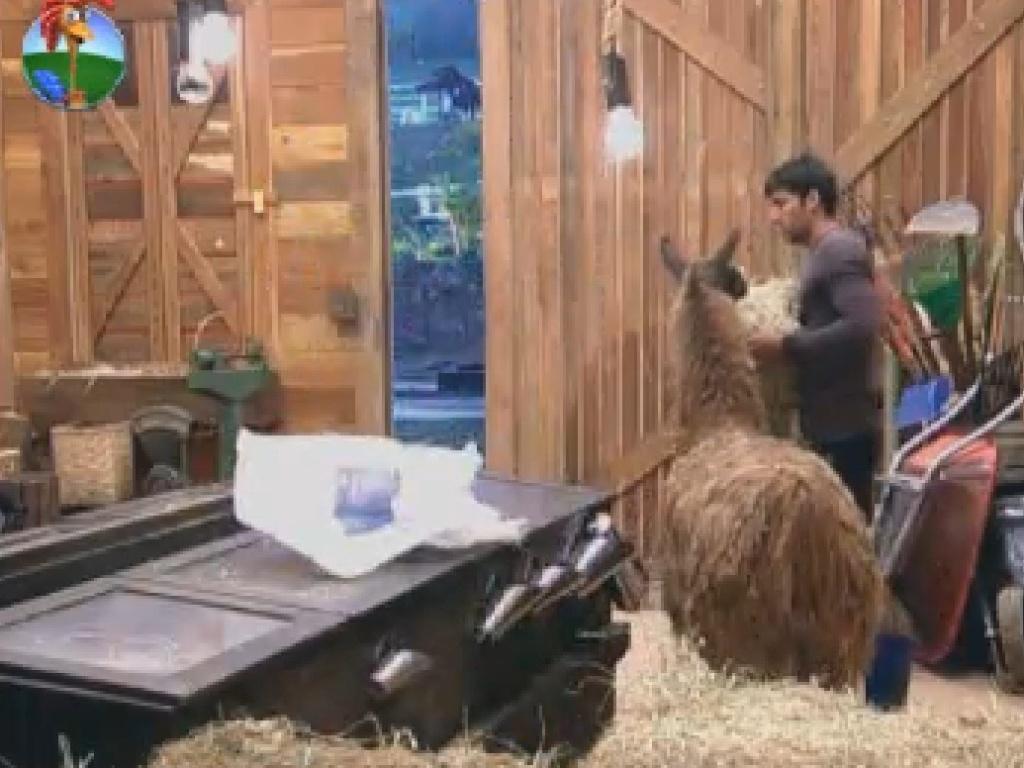 Diego Pombo é arrochado por lhama Consuelo no celeiro, na manhã desta quinta-feira (25)