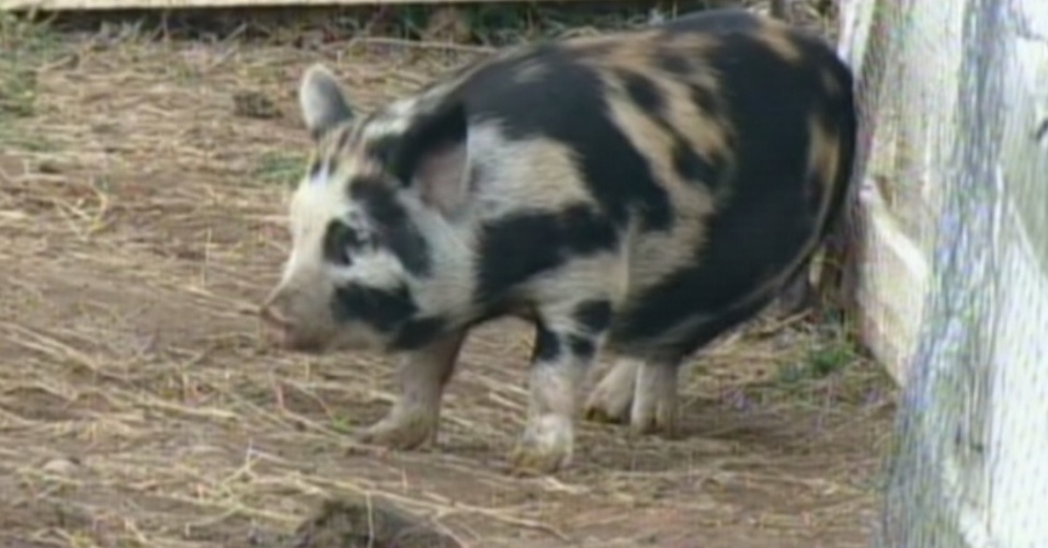 """Uma das porquinhas de """"A Fazenda 5"""" foi apelidade de Vavá (8/8/12)"""