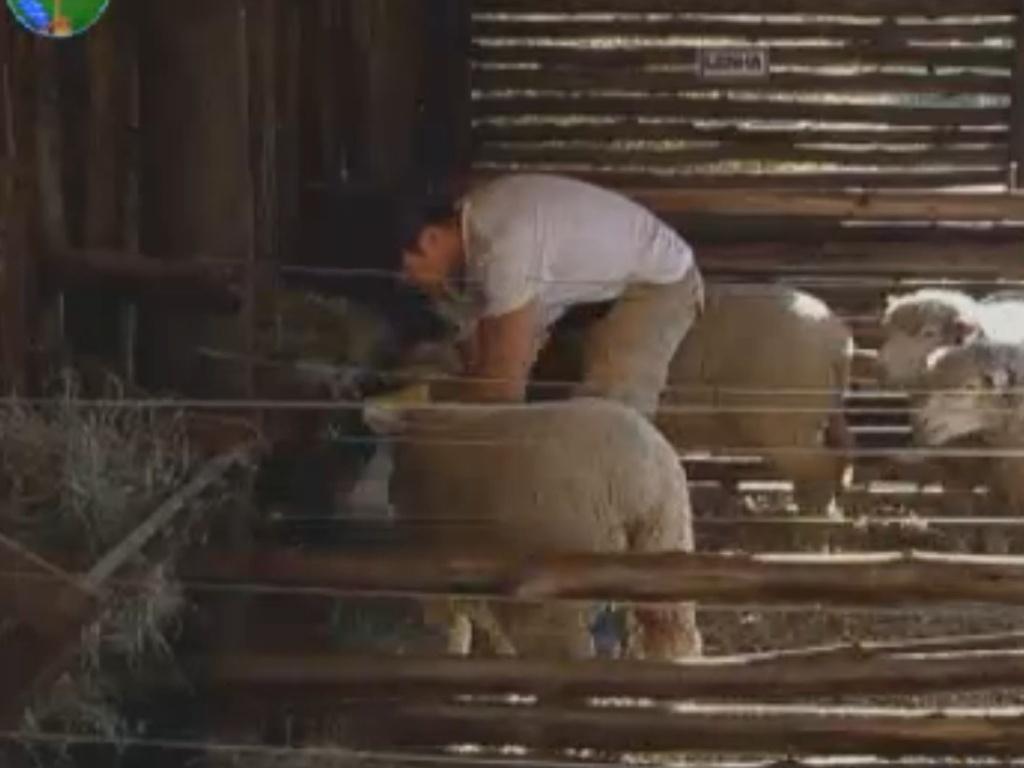 Felipe Folgosi dá ração para as ovelhas (17/8/12)